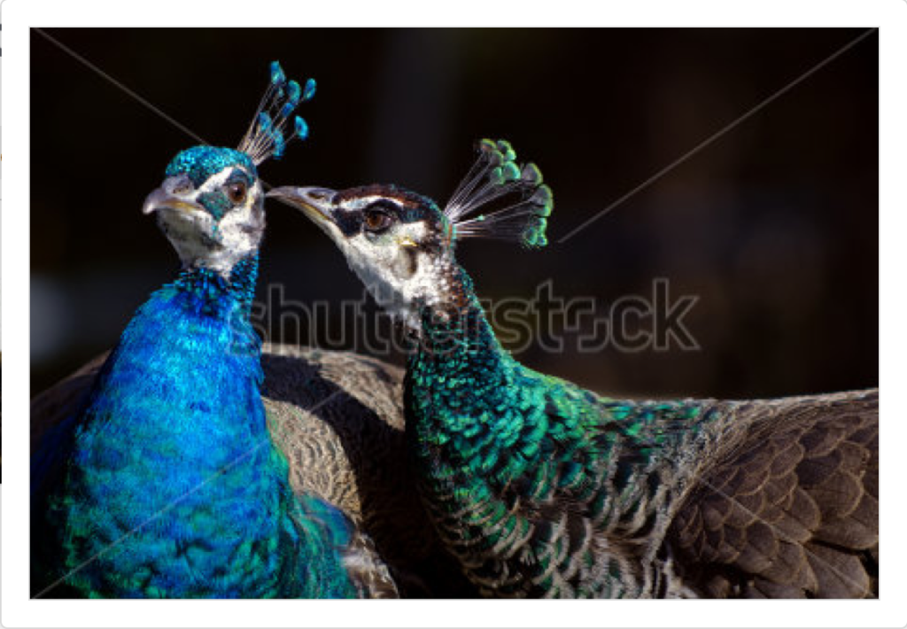 Peahen whispering to peacock